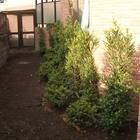 幸区 キンメツゲとサツキの植栽
