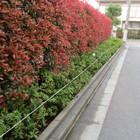 幸区 オオムラサキツツジ 補植