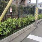 川崎区 斑入りアオキ等 補植